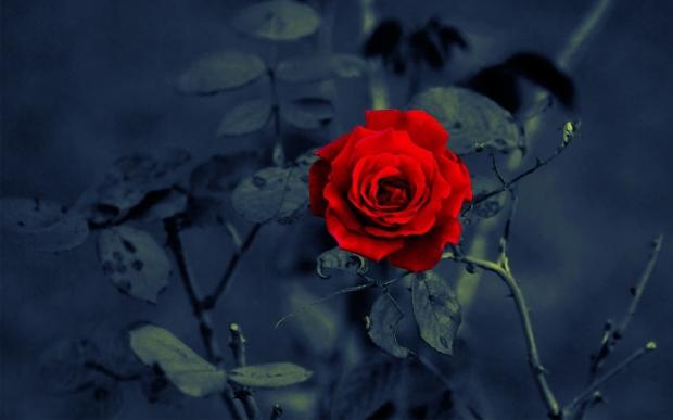 Red rose on dark background